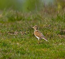 Common Skylark by Sue Robinson