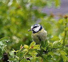 Blue Tit in Rain by Sue Robinson