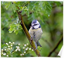Blue Tit in Hawthorn Poster