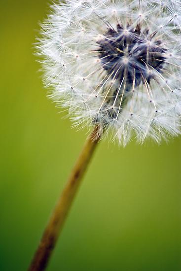 Dandelion by Dan Phelps