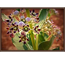 A little beauty at Humpty Doo Photographic Print
