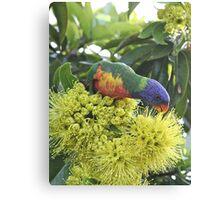 A rainbow lorikeet enjoying a meal Canvas Print