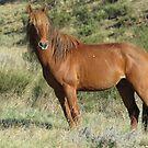 Brumby Stallion 2 by julie anne  grattan