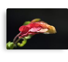 Shrimp Plant Canvas Print