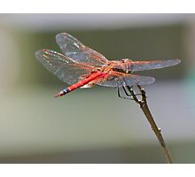 Sunlight sparks off a dragonfly's wings Photographic Print