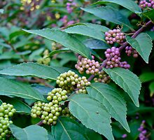 American Beautyberry Shrub - Callicarpa americana by MotherNature