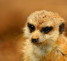 Meerkat by quirinusriddle