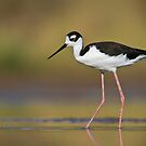 Black Necked Stilt by Bryan  Keil