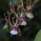 Orchids by johnnycuervo
