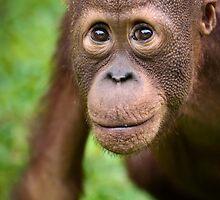Young Orphan Orangutan ~ Borneo by Orangutans