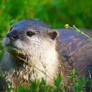 Otter 1 by TREVOR34