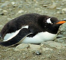 Gentoo Penguin Having A Lie Down by Carole-Anne