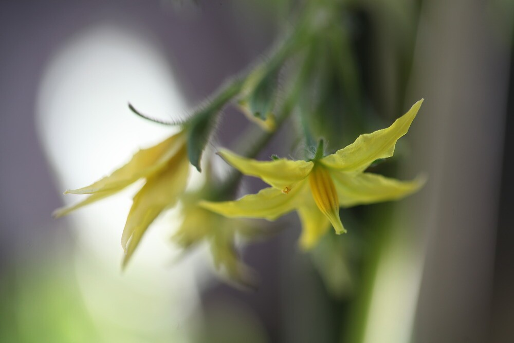 Cheri tomato flowers by MiloAddict