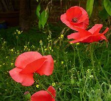 Red Poppies by Antoinette B