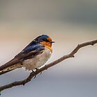 A Swallow by Bhavin Jadav