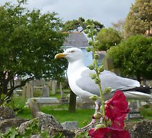 Seagull in the churchyard by Antoinette B