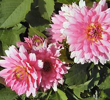 Gorgeous Dahlias by Shoshonan