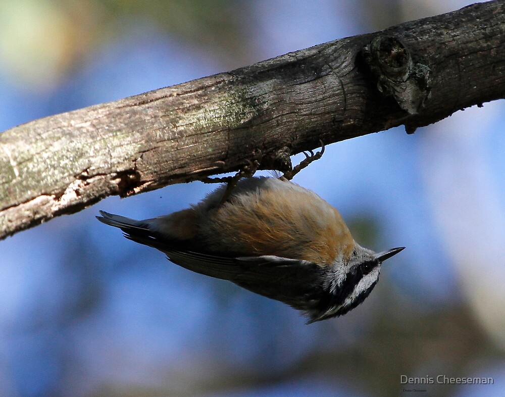 Red Breasted Nuthatch by Dennis Cheeseman