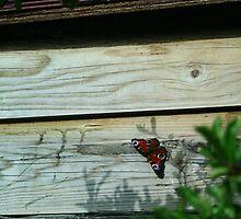 September Sun: Butterfly by Áine Warren