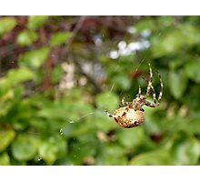 Cross Back Garden Spider Photographic Print