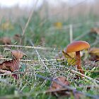 Laccaria Laccata by relayer51