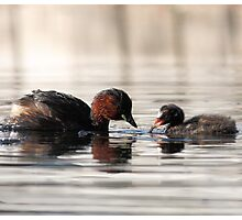 Little Grebe and Chick, Wisley Gardens, Surrey Photographic Print