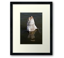 Swan feeding with Tail Up Framed Print