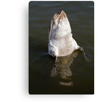 Swan feeding with Tail Up Canvas Print