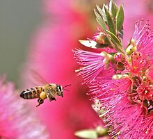 Bee on a bottle brush by Greta van der Rol