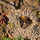 Mining Bee at nest hole by Sue Robinson