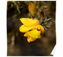 Gorse Flower and dew Poster