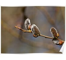 Catkins in Sunlight Poster