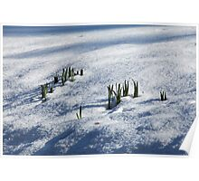 Daffodil Leaves in Snow Poster