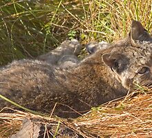 Lazy bobcat by Anthony Brewer
