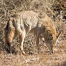 Mr Coyote sniffs a sniff by Anthony Brewer