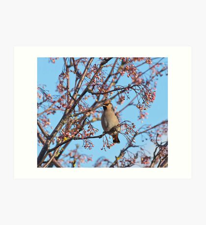 Waxwing and Rowanberries Art Print