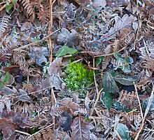 Moss, Leaves and Frost by Sue Robinson