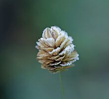 Frost on Grass Seed Head by Sue Robinson