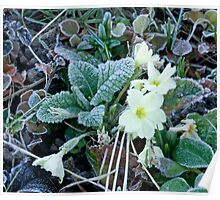 Frost on Primrose Poster