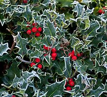 Frost on Holly Hedge by Sue Robinson