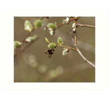 Bee on Pussy Willow Art Print