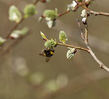 Bee on Pussy Willow by Sue Robinson
