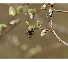 Bee on Pussy Willow Photographic Print