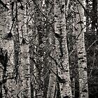 Birch Grove by Aaron Bottjen
