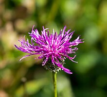 Greater Knapweed by Sue Robinson
