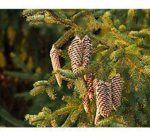 Fir Tree Cones Photographic Print