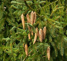 Christmas Tree Fir Cones  by Sue Robinson