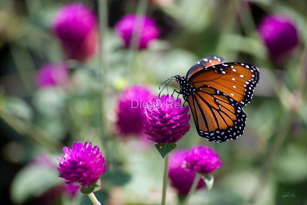 Monarch Butterfly by Diego Re