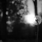 Dandelion at Sunset by 313 Photography