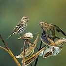 Pine Siskin Altercation by Bill McMullen